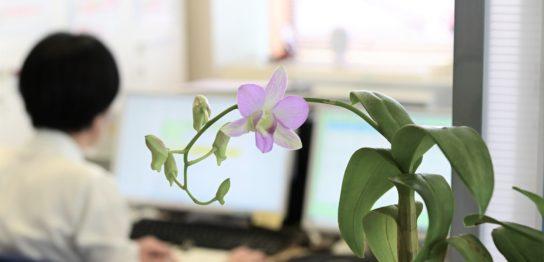 デンファレの花びらの開いた写真